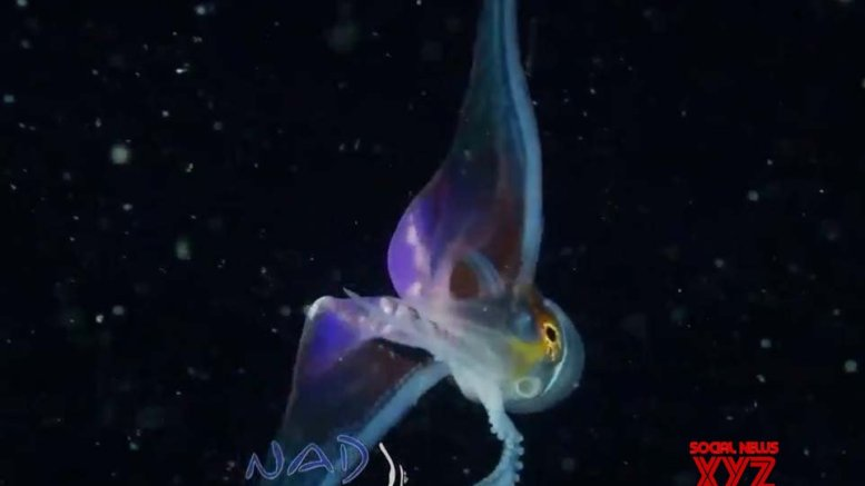 Rainbow-coloured 'Blanket Octopus' impresses netizens