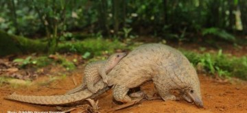 #WorldPangolinDay: Let them live, let them be!.