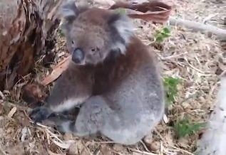 Koalas face extinction in New South Wales before 2050