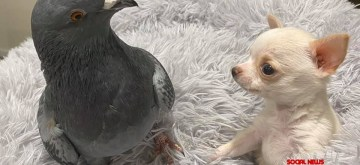 True friendship: A flightless pigeon and puppy who can't walk.