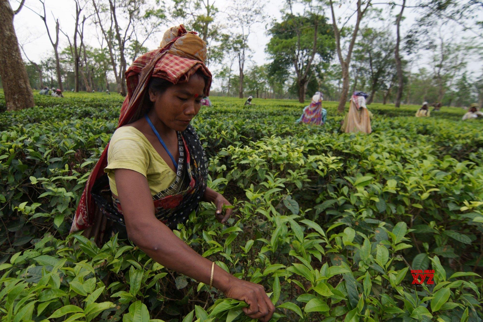NE India tea gardens facing huge losses following lockdown