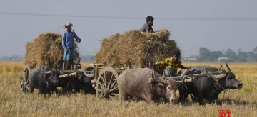 Guwahati: Farmers carry harvested paddy on bullock carts on the outskirts of Guwahati, on Dec 4, 2018. (Photo: IANS)