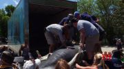 Rescued manatees released into Florida Keys waters (Video)