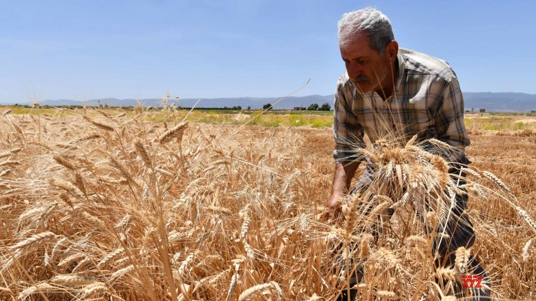 New wheat varieties high in nutrition, low on sugar