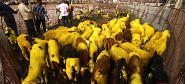Chennai: Goats at a livestock market ahead of Eid-Ul-Adha celebrations, in Chennai on July 28, 2020. (Photo: IANS)