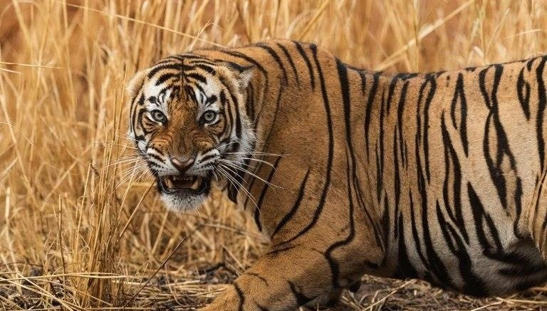In Ranthambore, a 'love affair' between 'Prince' Hamir and an ace photographer