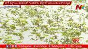 NTV: Crops Submerged In Floods, Farmers Suffer Huge Loss In Guntur (Video)