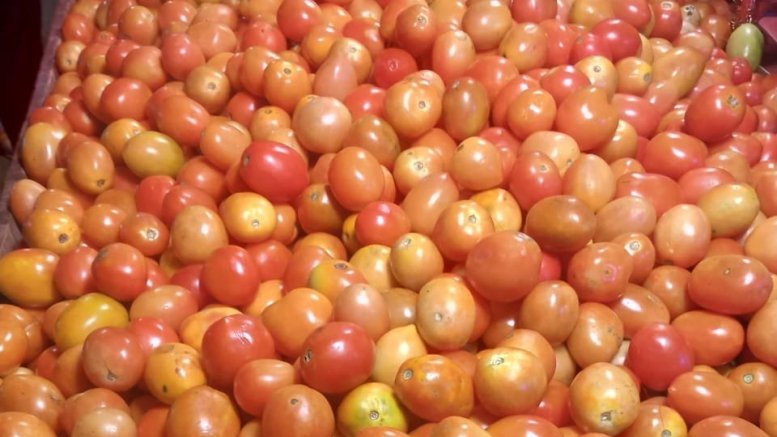 Andhra govt to buy tomatoes as farmers suffer low prices