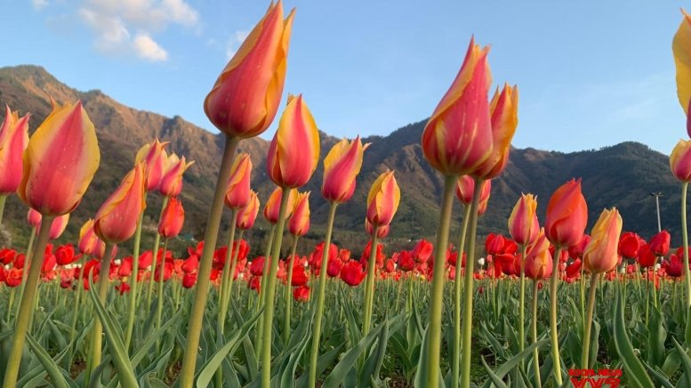 Tulips add magical colours to Kashmir's landscape as weather remains dry