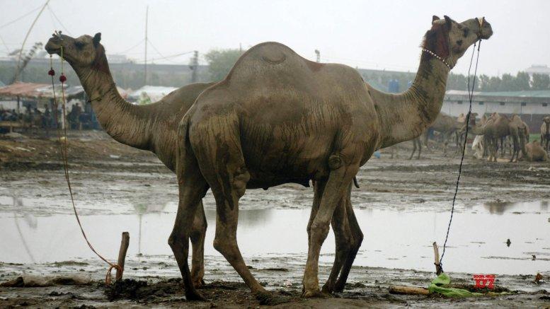 Camels rescued, sent to 'goshalas' in K'taka