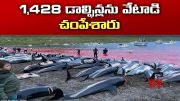 Carcasses of 1,428 Dead Dolphins on Beach in Faroe Islands |      (Video)