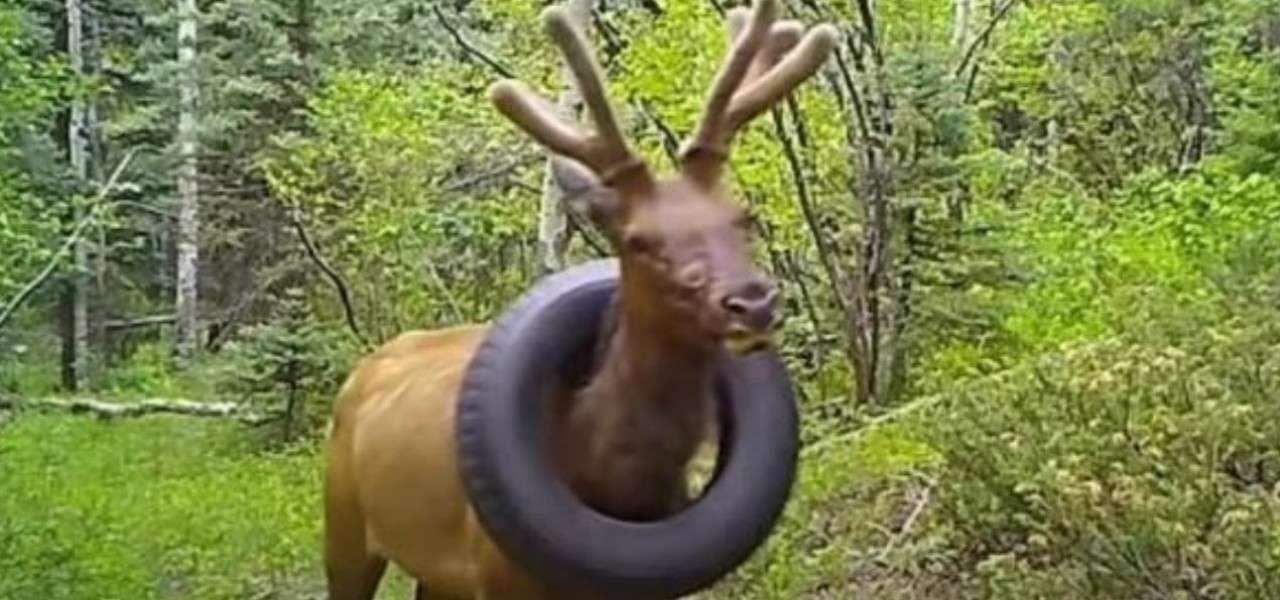 Colorando: liberato il cervo che viveva con uno pneumatico al collo
