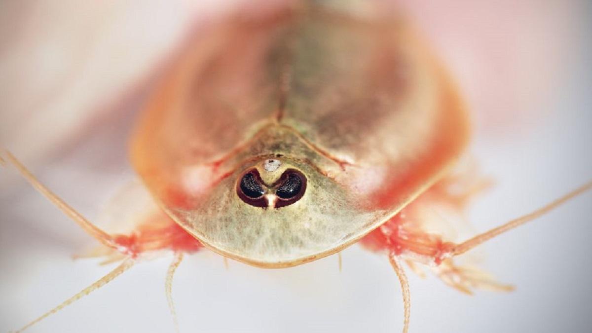 Arizona, scoperti degli esempari di gamberetti prestorici a tre occhi