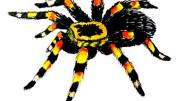 http://drawingandcrafts.com/how-to-draw-a-tarantula-spider.html