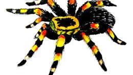 http://drawingandcrafts.com/how-to-draw-a-tarantula-spider.html