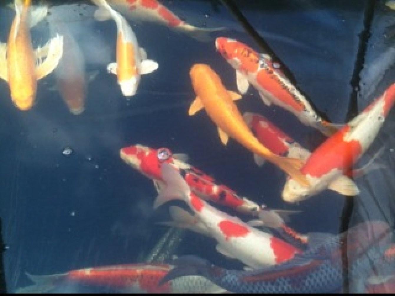 cool Koi fish