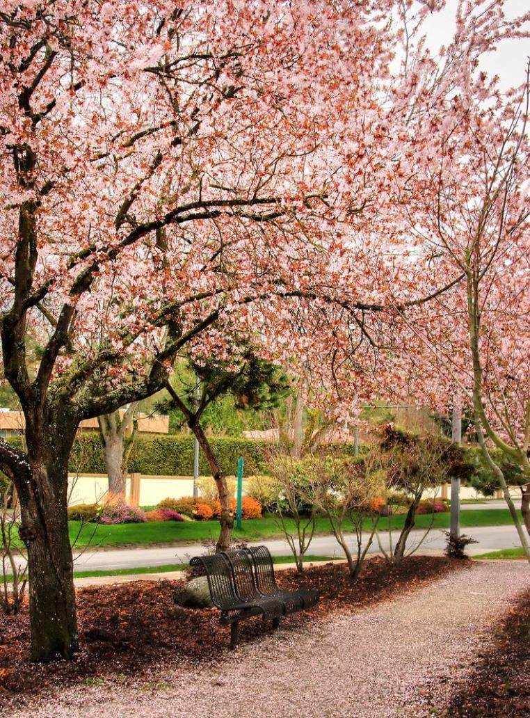 beautiful cherry blossoms on the UBC campus