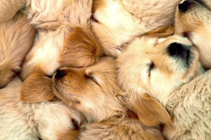 Golden Retriever puppies, 22 Times Golden Retriever Puppies Were The Cutest