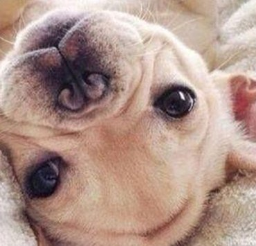 22 Times French Bulldog Puppies Were Just The Cutest