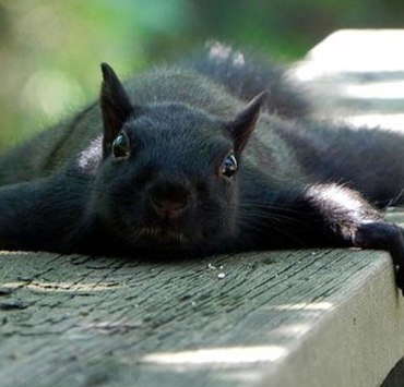 Why Black Squirrels At Kent State Are Such A Big Deal