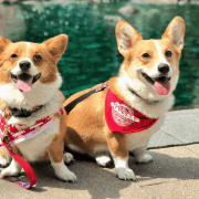Are you obsessed with how cute corgis are? Then read this article to see incredibly photogenic pups living their best life!