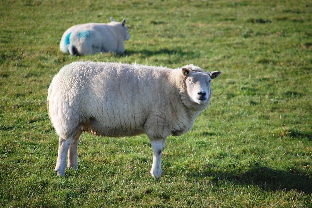 das Schaf und seine Wolle wolle Das Schaf und seine Wolle – Interview mit Frank Gorter