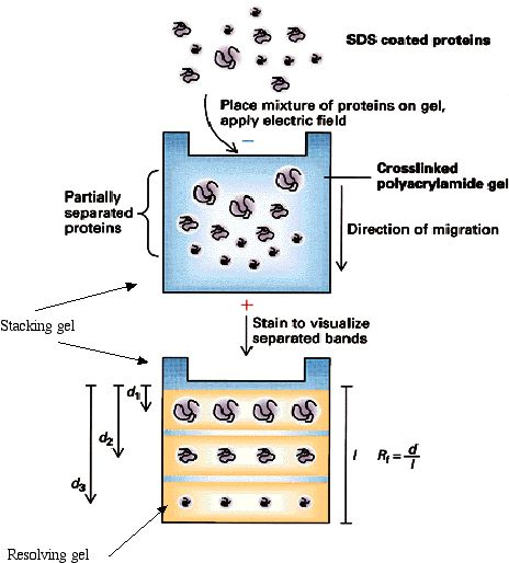 Separating Protein with SDS-PAGE   Society for Mucosal Immunology