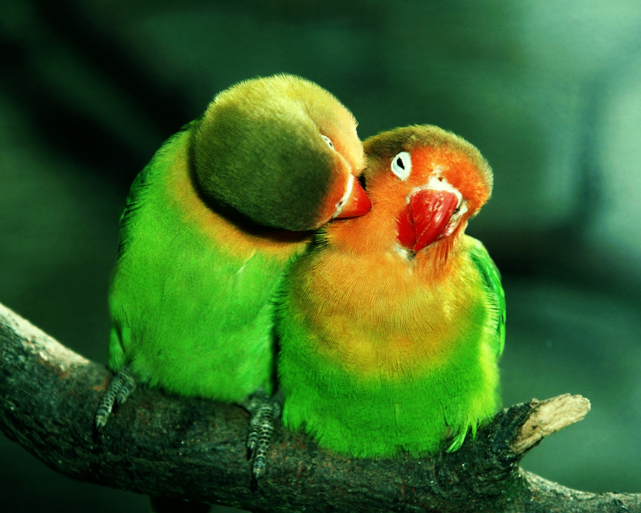 Parrots In Love Hd By Claudiu D Desktop Wallpaper