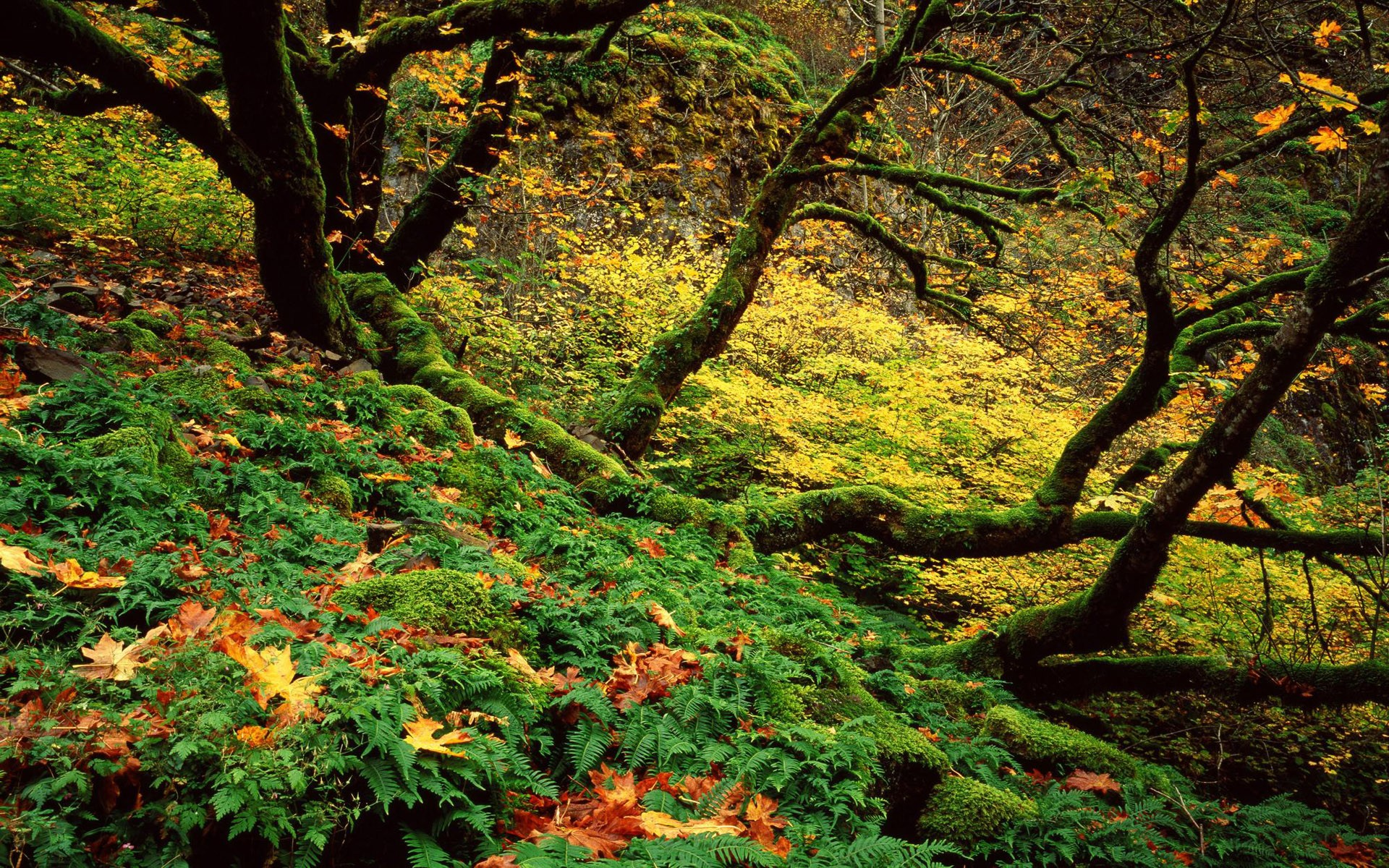 Fall Leaves Computer Wallpaper Big Leaf Maple And Ferns In Autumn Columbia River Gorge
