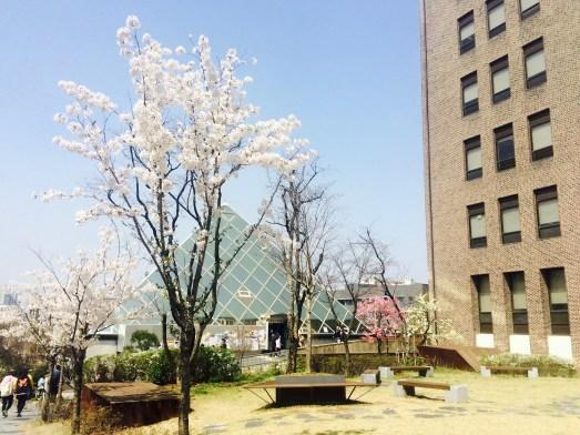 Kirschblüten auf dem Campus, im Hintergrund die Glaspyramide a.k.a. Copyshop // Cherry blossoms on campus, with the glass pyramid in the background