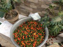 Chilis im tibetischen Viertel um Bouddhanath herum
