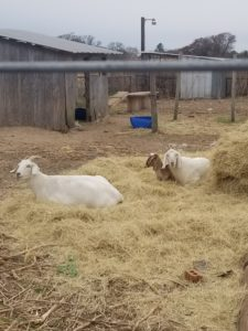 Sanaan Nubian Goat mix in fore front. Purebreed Nubian doe and buck in background
