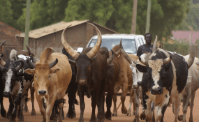 Nigeria: Boko Haram Plans to Bomb Soft Targets Using Livestock, Warns FG
