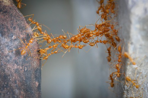 Army ants' 'living' bridges suggest collective intelligence | KurzweilAI