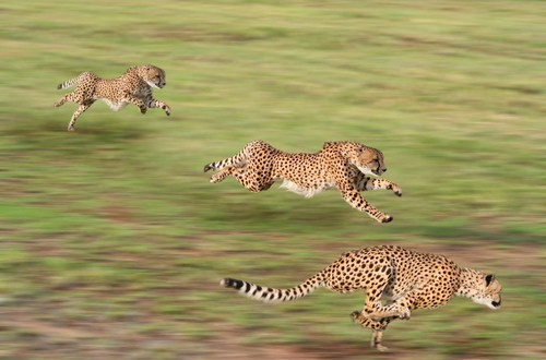 Cheetahs stationed on South African air base attack officer