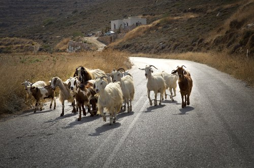 How the US Blew Millions of Dollars Airlifting Cashmere Goats to Afghanistan | Mother Jones