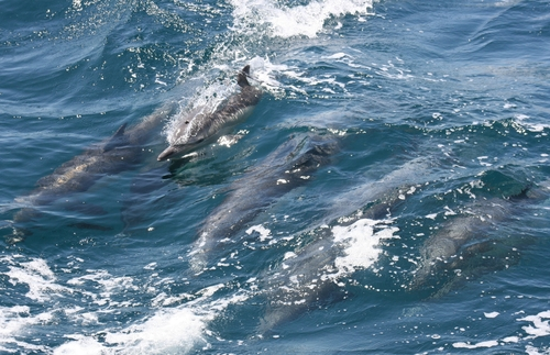 WATCH: Rare Video of Dolphins Hunting a Shark : Nature : Science World Report