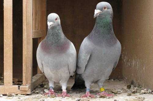 ISIS uses homing pigeons to carry messages, Jordanian official says | Fox News