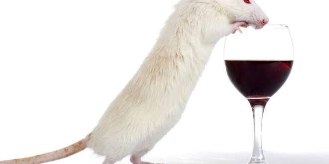 Rats offer clues to biology of alcoholism | Science News