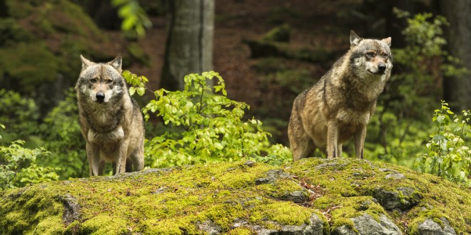 'Gambling' wolves take more risks than dogs |  ScienceDaily