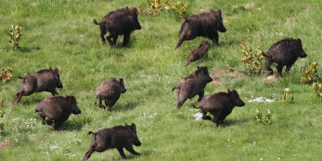 Let slip the hogs of war – wild pigs thwart ISIS ambush, kill 3 militants | MilitaryTimes
