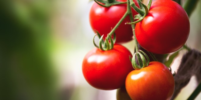 Diet rich in tomatoes cuts skin cancer in half in mice | ScienceDaily