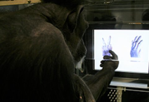 Chimpanzees learn rock-paper-scissors: New study shows that chimps' ability to learn simple circular relationships is on a par with that of 4-year-old children | ScienceDaily