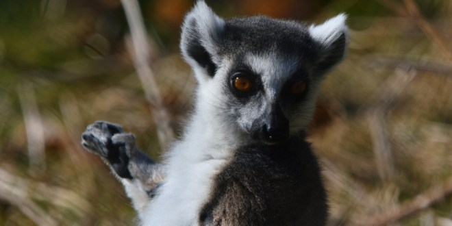 Lessons from lemurs: To make friends, show off your smarts | Science Daily