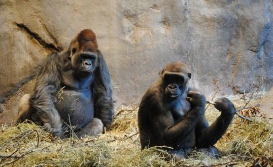 Improved ape genome assemblies provide new insights into human evolution | Science Daily