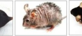 Scientists reverse aging-associated skin wrinkles and hair loss in a mouse model | Science Daily
