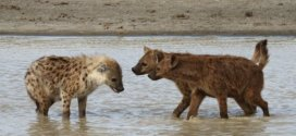 How female hyaenas came to dominate males | Science Daily