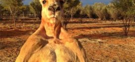 Roger the kangaroo: Enormous roo dies aged 12 | BBC