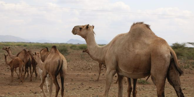 Australia to cull 10,000 camels with snipers amid drought concerns | DW