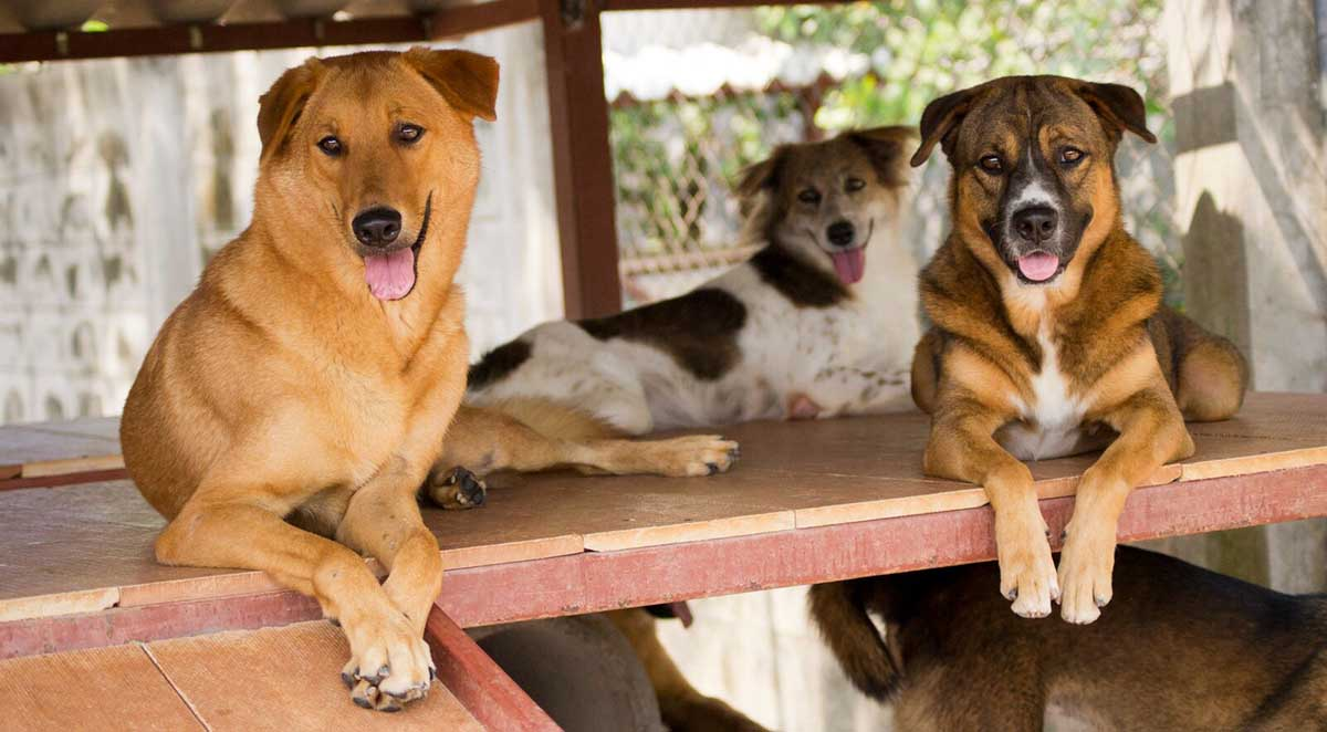 Dogs For Adoption  Soi Dog Foundation
